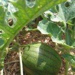 Watermelon fruit, Blacktail Mountain
