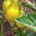 Tomato, Breams Yellow Pear