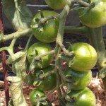 Tomato, Brown Berry