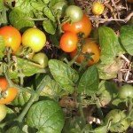 Tomato, Tiny Tim