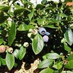 Blueberry, Sunshine Blue - year 3