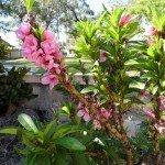 Nectarine flowers, year 2