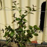 Lemon (Espaliered), Eureka, year 1