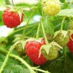 Raspberry fruit, Autumn Bliss