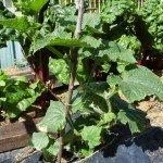 Cucumber, Marketmore