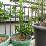 Lime, tahitian - year 1
