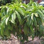 Nectarine, Nectazee - year 2