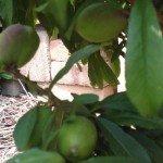 Nectarine, young fruit- year 3