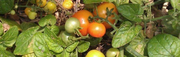 Growing Winter Tomatoes