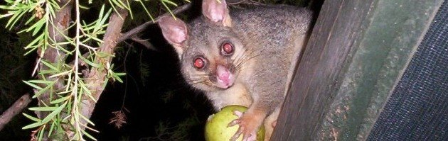 Pesky Possums