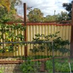 Permanent citrus trellis. Old pool fencing in foreground is used to trellis annual climbers.