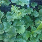 Rockmelon, French Charentais
