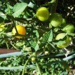 Tomato, Broad Ripple
