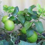 Lemon, Eureka fruit - 3 yrs