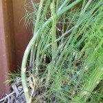 Asparagus spears, year 3