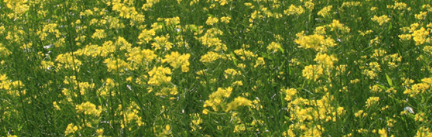 Green Manure & Cover Crops