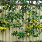 Lemon, Eureka in fruit - June '16