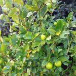 Lime, June 16