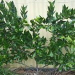 Espallied Valencia Orange tree - Jan '16, 5.5 yrs