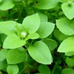 Close up of Chickweed