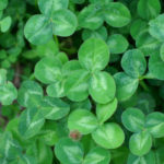 Edible Clover