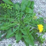 Edible dandelion in flower