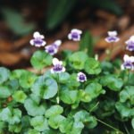 Edibe Native Violets